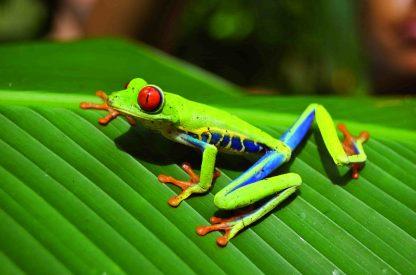 Grenouille aux yeux rouge dans le Parc National de Manuel Antonio dans un circuit au Costa Rica