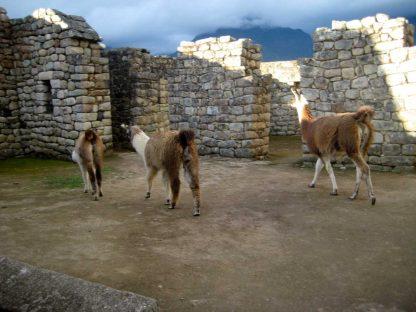 Lamas dans le programme d'immersion en espagnol à Cusco au Pérou