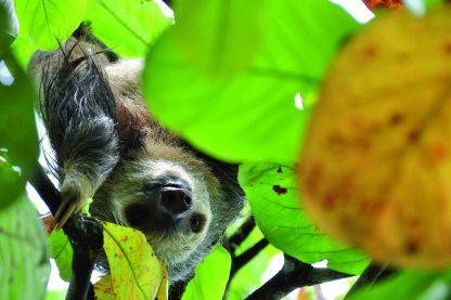 Paresseux dans le Parc Manuel Antonio au Costa Rica