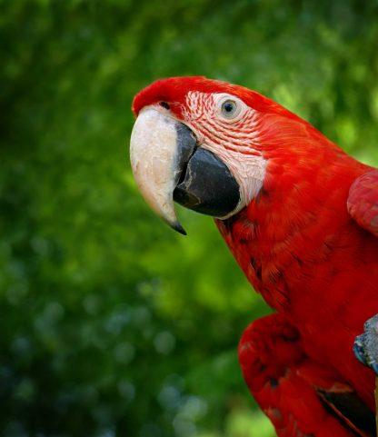 Perroquet rouge dans le jungle du Costa Rica