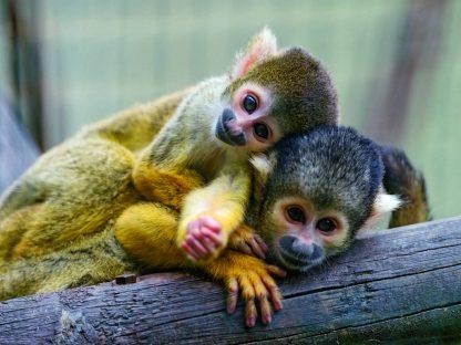 Petits singes dans un circuit au Costa Rica