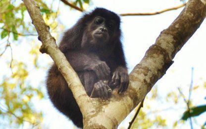 Singe dans le Parc Nosara à Guanacaste au Costa Rica